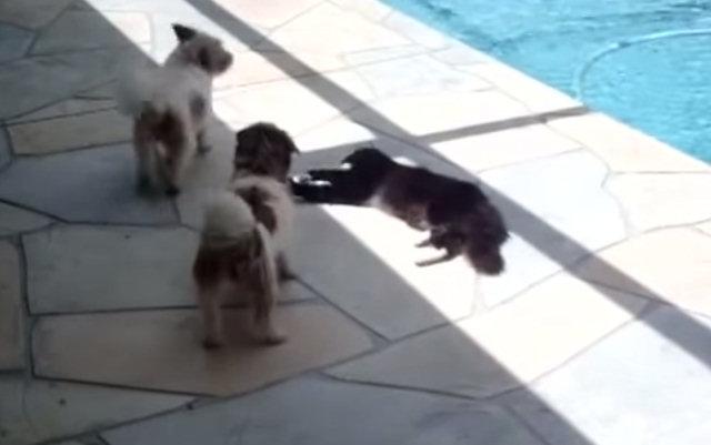 Разозлённый кот дал достойный отпор собакам