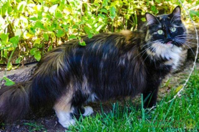 В Калифорнии живёт самая длинношерстная кошка