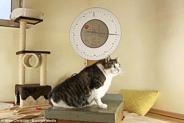 Самый толстый в мире кот сбросил несколько килограммов