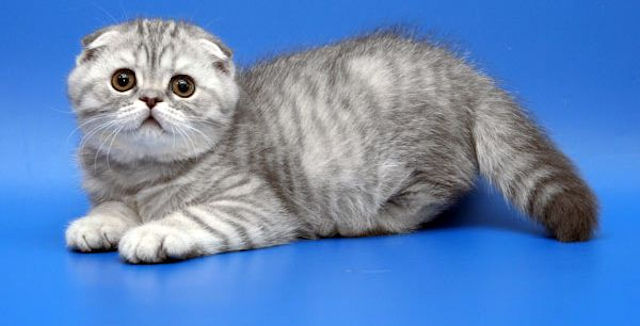Фото породы котов вислоухих