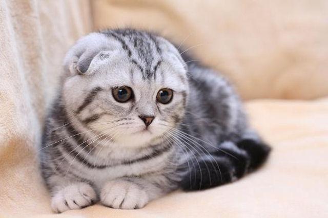 Сингапура фото цена котята сингапуры питомники сингапур