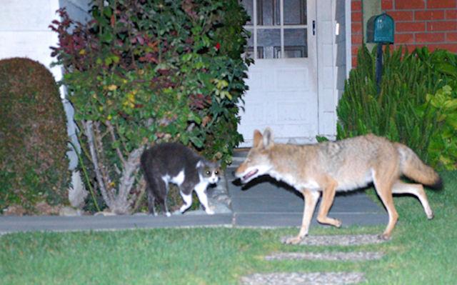 Собака спасла кошку от койотов