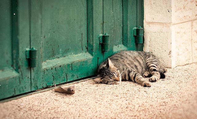 В Израиле продолжается кампания по стерилизации кошек