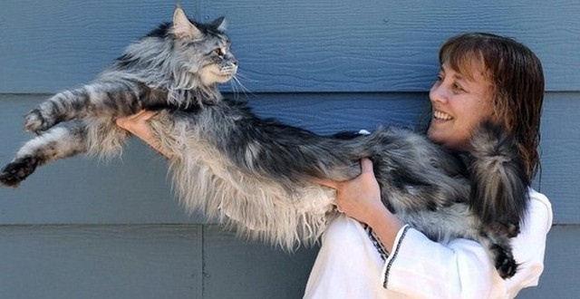 Стьюи из Рино – самый длинный кот в мире