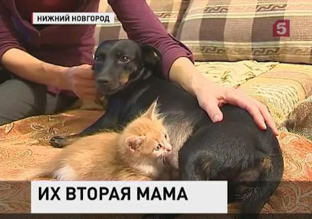 Такса выкормила 3-х новорожденных котят