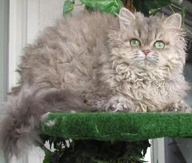 Ученые раскрыли секрет кудрявых кошек