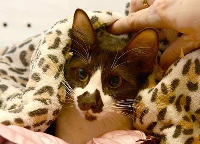 Удивительная кошка с картой Австралии на носу