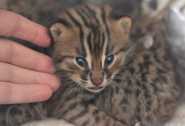 Кошка усыновила диких дальневосточных котят