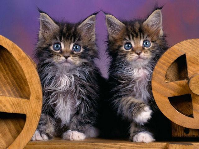 Кошки узнают хозяев по голосу