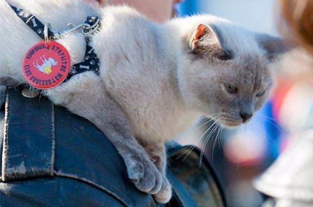 В Челябинске живёт кошка-байкер