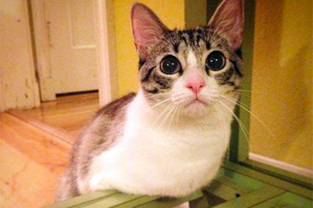 В Instagram новая знаменитость — двулапый кот