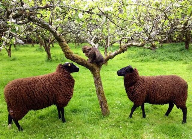 В Ирландии живёт кот-пастух