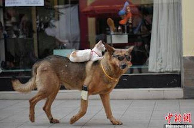 В Китае кошка оседлала собаку