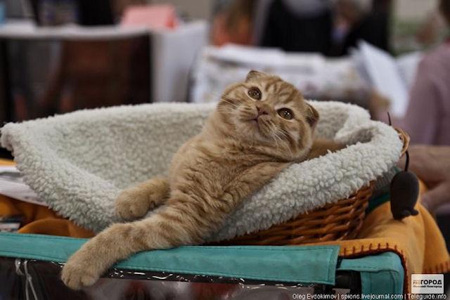В Нижнем Новгороде выберут самую красивую кошку