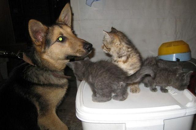В Новосибирске дворняжка усыновила 7-х котят