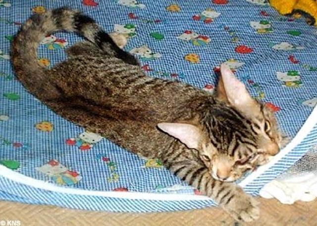 В Ростове родился котёнок с 2-мя головами