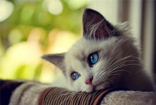 Жители Швейцарии могут содержать дома лишь 1 кошку