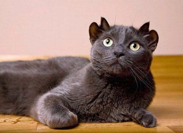 В Великобритании живёт кот с двумя парами ушей