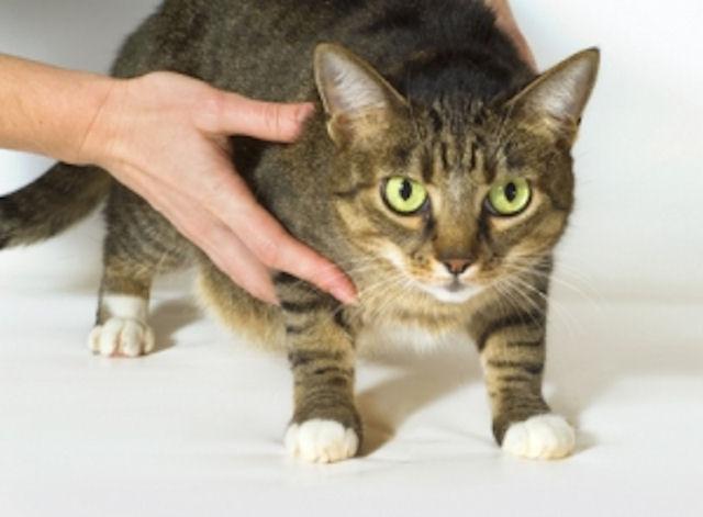 Ученые создадут вакцину против ВИЧ с помощью кошачьего вируса
