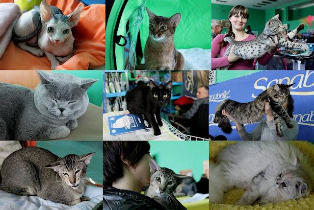 Во Владивостоке прошла выставка кошек