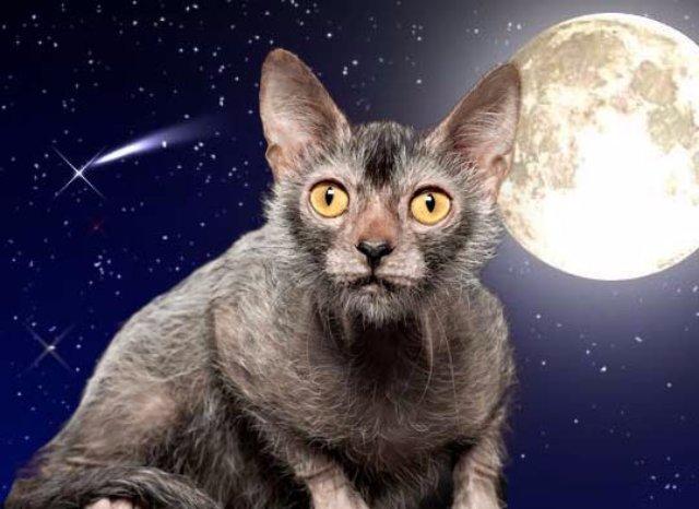 Выведена порода кошек-оборотней с собачьими повадками