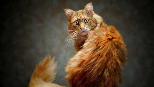 Хозяева дома приняли кота за грабителя