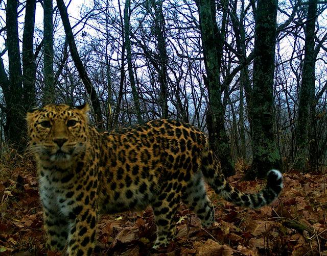 В «Земле леопарда» появился новый житель