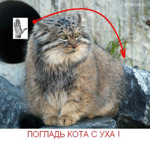 Погладь кота манула