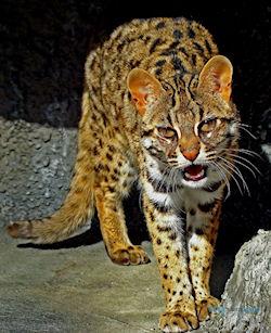 Ириомотская кошка - дикая кошка, находящаяся на грани вымирания
