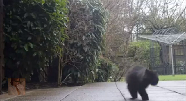 Двулапый кот Кэффри научился ходить