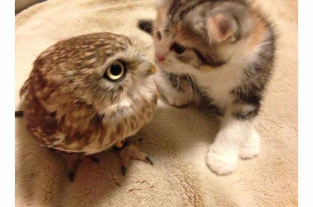 Необычная дружба кота и совы