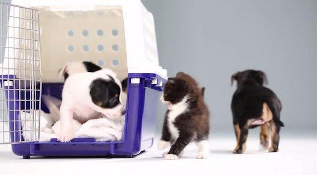 Как котята знакомятся со щенками