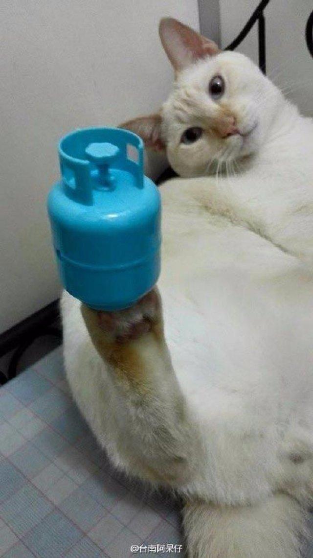 Малазийский кот обладает невероятным чувством баланса
