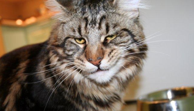 Кировский кот едва не лишил жилья собственного хозяина