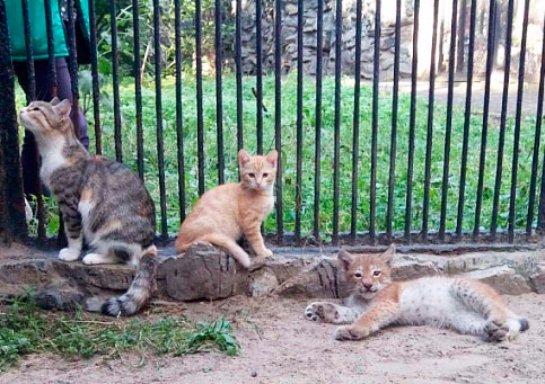 В Новосибирске взрослая кошка выкормила маленькую рысь