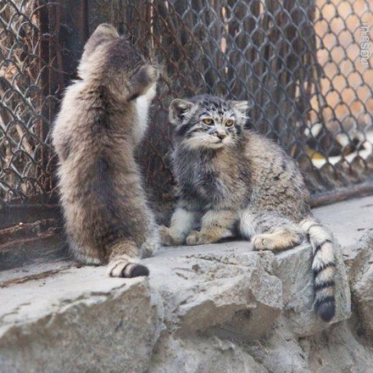 В зоопарке детеныши манула вышли из укрытий