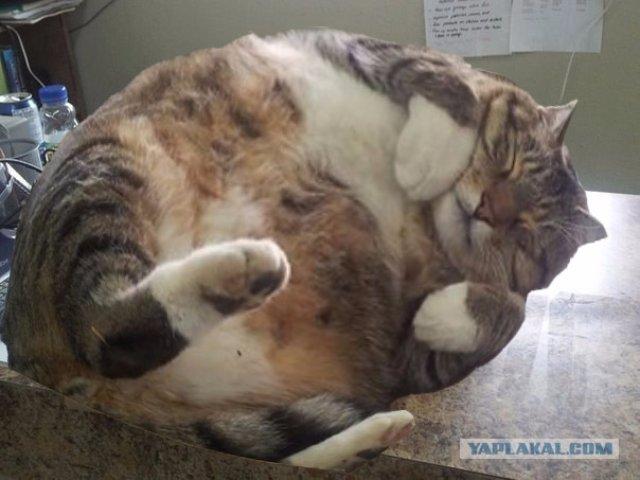 Кот 13 килограмм