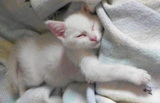 Котенок с пороком сердца живет полноценной жизнью