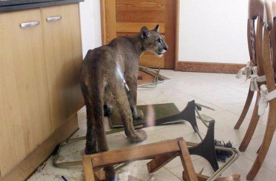 Чилийская семья обнаружила на своей кухне пуму