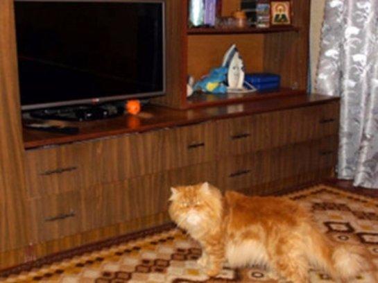 Мужчина захотел расплатиться с долгами своим персидским котом