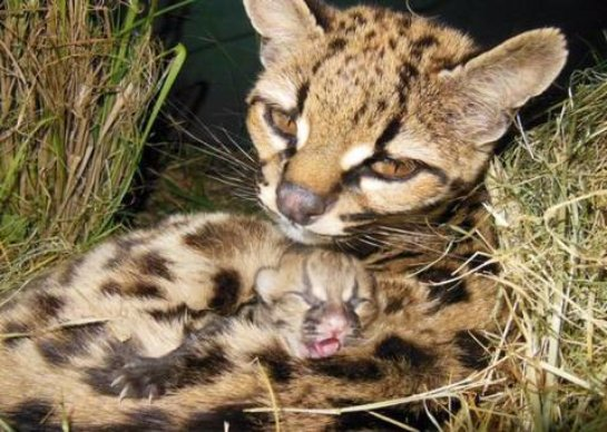 В уругвайском зоопарке у дикой кошки появился детеныш