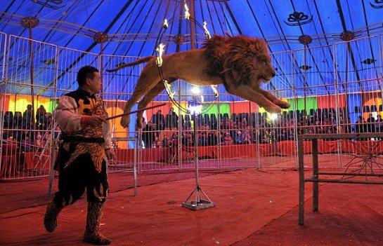 В Мексике запрещено использовать львов и других диких зверей в цирке