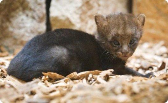 В зоопарке Праги родился детеныш ягуарунди