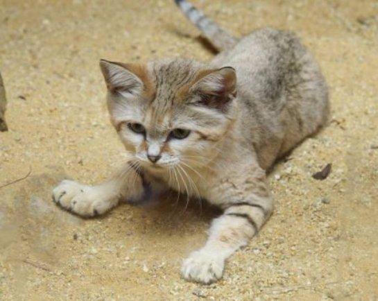 В Смитсоновский зоопарк доставили песчаного кота