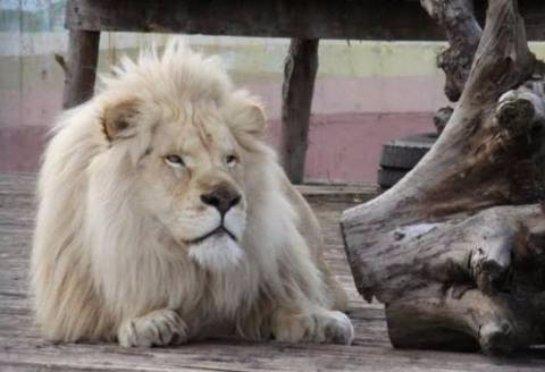 В Ростовском зоопарке появился белый лев