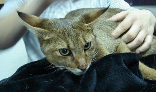 В Магнитогорске обитает очень редкая кошка