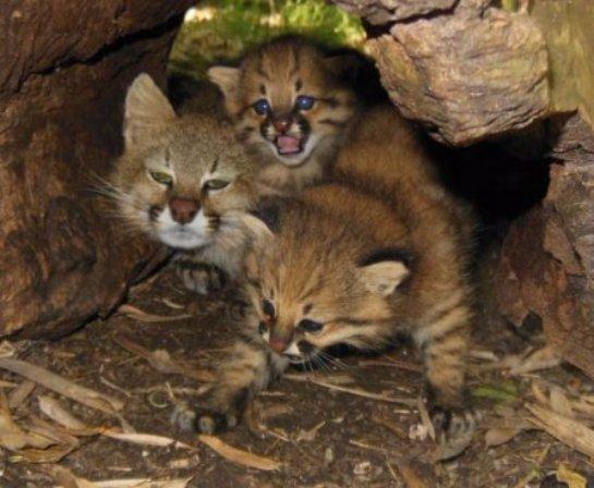 В Уругвайском зоопарке показали котят пампасской кошки