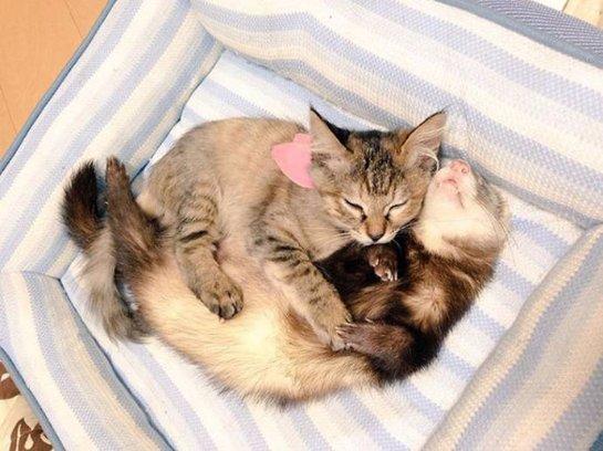 Котенок вырос среди хорьков