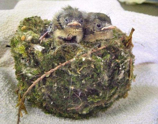 Кошка притащила домой гнездо с птенцами