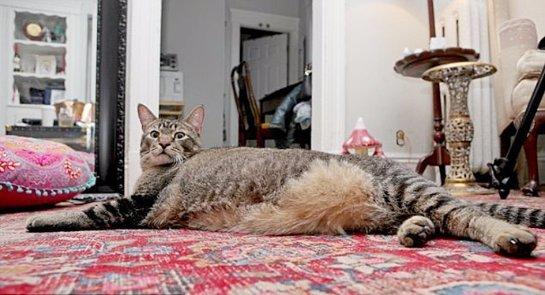 Публике представлен еще один кот-гигант